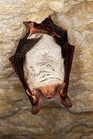MOUSE-EARED BAT myotis myotis, ADULT HIBERNATING IN A CAVE, NORMANDY IN FRANCE