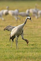 Cranes (Grus grus)