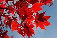 Downy Japanese Maple or Fullmoon Maple Acer japonicum with red autumn colouring