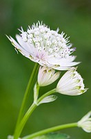 Great Masterwort Astrantia major, Lake Lutten, Mittenwald, Bavaria, Germany, Europe