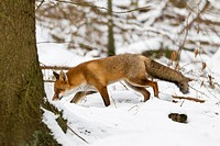 European Fox Vulpes vulpes, searching for food in forest, winter