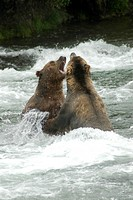 Brown Bears sparing for salmon fishing position, Brooks Camp, Katmai National Park, Alaska, USA