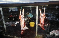 Slaughtered Reindeer, Norway
