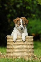 Kromfohrlaender puppy sitting in a wicker basket