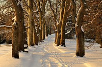 Avenue of Plane Trees (Platanus) on the island of Mainau in winter, Konstanz district, Baden-Wuerttemberg, Germany, Europe