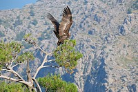 Spain, Balearic Islands, Mallorca, black vulture Aegypius monachus adult taking flight