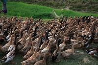 A flock of ducks at the bank of Surma river at Bada ghat Sylhet, Bangladesh March 2010