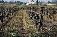 Wine grape vines in late winter in the Herault region of France