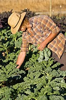 Young man picking kale on small organic farm, Nevada City, California