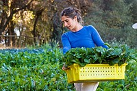 Woman picking beets on small organic farm, Nevada City, California