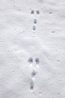 Wild rabbit Oryctolagus cuniculus footprints in the snow in winter, Germany