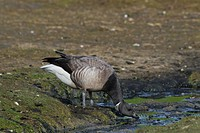 Brent Goose Branta bernicla drinking in salt marsh, Wadden Sea National Park, Germany