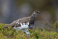 Rock Ptarmigan, Lagopus mutus, standing on rock, Niederhorn, Bernese Oberland, Switzerland