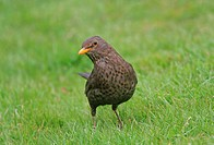 European Blackbird Turdus merula adult female, listening for earthworms, foraging on grass, West Sussex, England, april