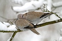 Eurasian Collared Dove Streptopelia decaocto adult pair, courtship preening, perched on snow covered branch, West Sussex, England, january