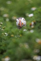 Atlantic Puffin Fratercula arctica adult, looking over vegetation, Shetland Islands, Scotland, july