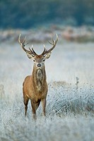 Red Deer Cervus elaphus stag, standing amongst frost covered vegetation in morning, Surrey, England, october