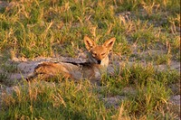 Black_backed Jackal Canis mesomelas adult, resting on ground in evening sunlight, Okavango Delta, Botswana