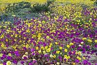 Pata de Guanaco Cistanthe longiscapa and Cistanthe litoralis mixed group, flowering in desert, Atacama Desert, Chile