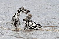 Zebra stallions usually fight for possession of females  Fighting starts with kicking with hind legs, biting of mane, neck and legs and rearing up and...