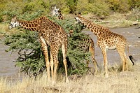 Giraffes are browsers, they avoid grass and concentrate on leaves  Their long legs and neck give them an edge over other animals, as they can reach to...