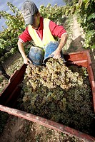Farmer unloading grape into a container in a vineyard  Raimat  LLeida  Spain