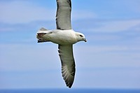 Northern Fulmar / Arctic Fulmar Fulmarus glacialis at flight over sea at the Fowlsheugh nature reserve, Scotland, UK