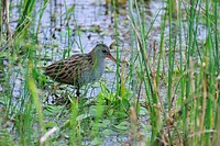 European Water Rail Rallus aquaticus walking through water vegetation in lake, La Brenne, France
