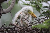 Chicks of the Cattle Egret Bubulcus ibis locally known as 'go bok' is a small white heron found near water_bodies, cultivated fields, usually near gra...