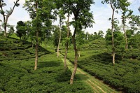 A tea garden at Srimangal, Bangladesh Tea is a major industry in Bangladesh and grows in the low hills of Chittagong and Sylhet There are about 158 te...