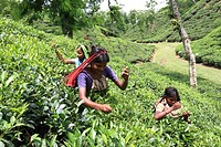 Women tea pluckers work at tea garden at Srimangal, Bangladesh Tea is a major industry in Bangladesh and grows in the low hills of Chittagong and Sylh...