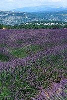 Lavender field close to the Mount Ventoux