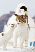 Europe, Greece, Cyclades, Santorini, Cat with kitten on wall