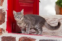 Europe, Greece, Cyclades, Santorini, Cat standing at doorway