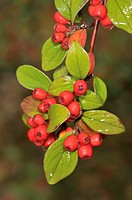 Leaves and fruits (Cotoneaster sp.). Putget park, Barcelona, Catalonia, Spain.
