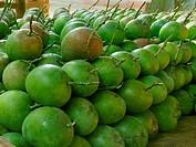 Raw Alphonso Mangoes, Mangifera indica L, Anacardiaceae, Ratnagiri, Maharashtra, India