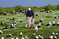 Hawaï , Midway , Sand Island , Laysan Albatross ,  Phoebastria immutabilis , count of the nests.