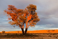 Africa, Botswana, South Africa, Kalahari, Sociable Weaver nests on tree in kgalagadi Transfrontier Park