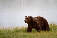 Brown Bear Ursus arctos standing at foggy lakefront, Finland
