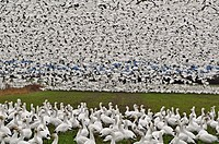 This is a flock of wild snow geese on Fir Island in Skagit County, Washington a known migrating place  This flock is literally thousands, some being o...