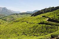 Tea plantation, Munnar, Idukki, Kerala, India
