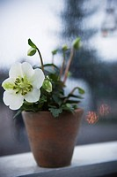 Sweden, Stockholm, flowering potted plant on window sill