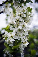Sweden, Stockholm, flowering fruit tree, close_up