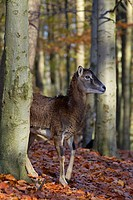 European mouflon Ovis gmelini musimon / Ovis ammon / Ovis orientalis musimon ewe in forest in autumn, Germany