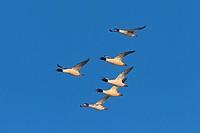 Goosander Mergus merganser flock in flight, Germany