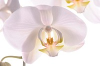 Orchid in Studio