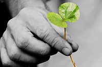 Close_up of a person´s hand holding a coffee seedling, Colombia