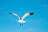 Low angle view of a seagull flying in the sky
