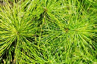 Close_up of Cyperus papyrus plant