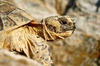 Copy of Tortuga Mora Testudo graeca in the vicinity of Cabo Cope, a shelter of this tortoise, which is protected by being on the list of endangered sp...